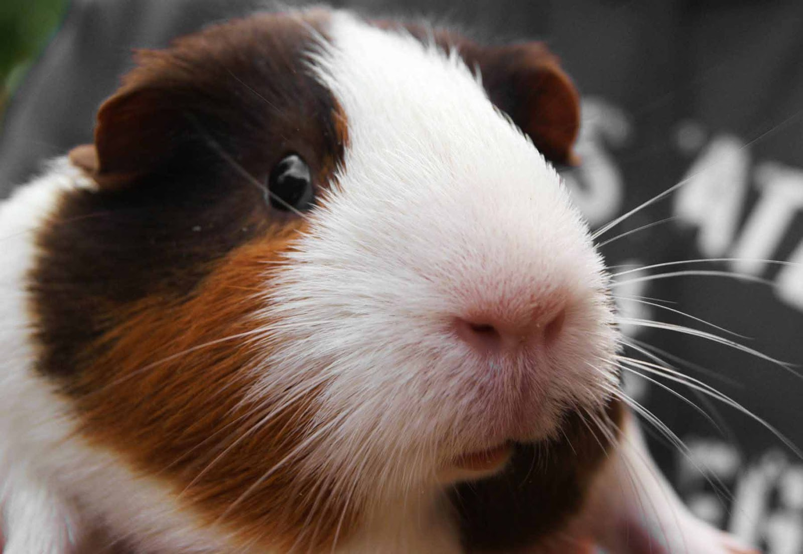 Guinea Pig Wallpapers 1600x1105