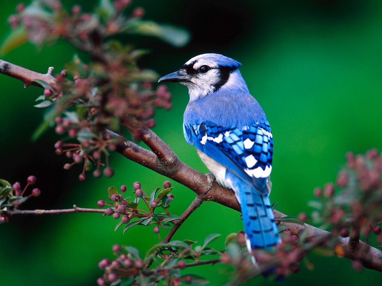 Blue Jay bird PC Wallpaper HD Wallpaper 1280x960