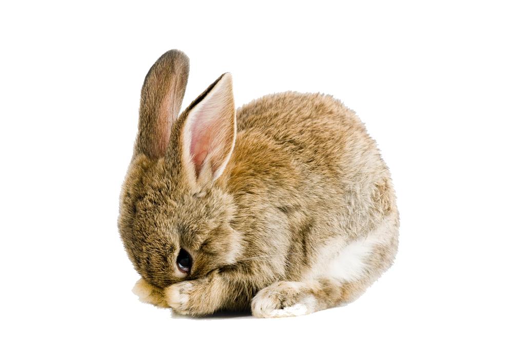 Rabbit PNG Images Transparent Download PNGMartcom 1000x664