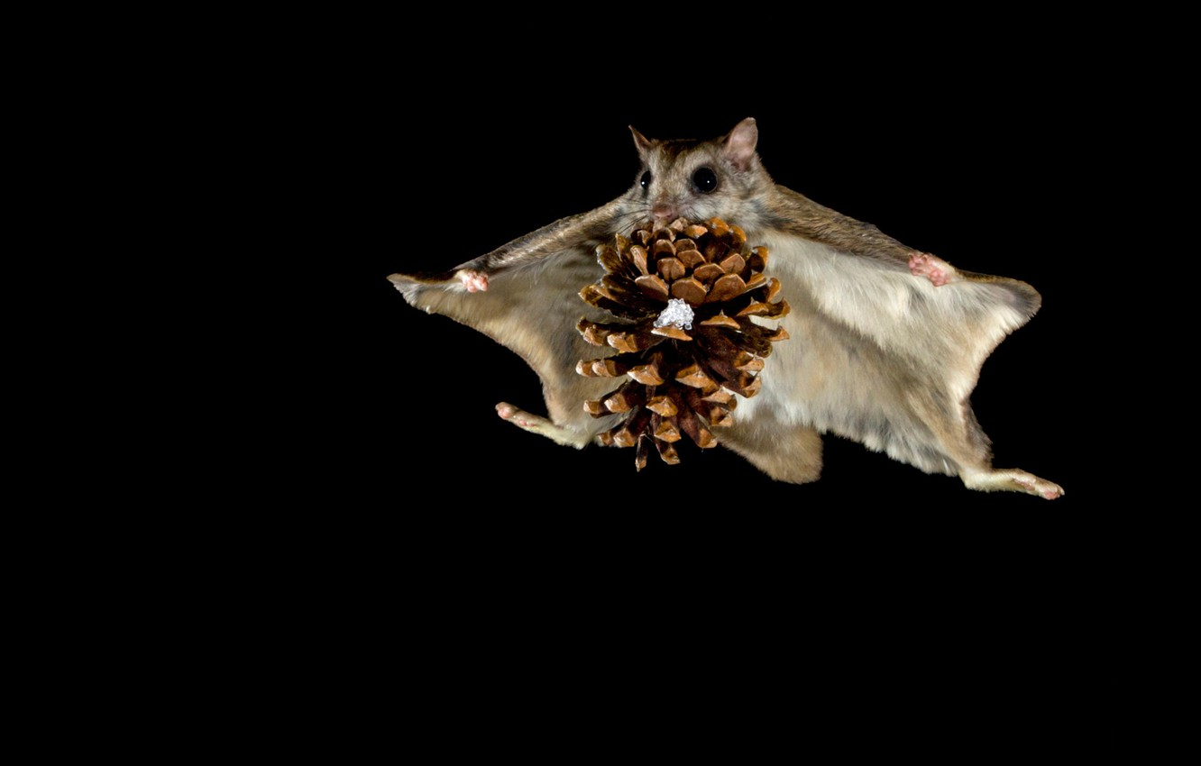 Wallpaper flight night protein bump flying squirrel images for 1332x850