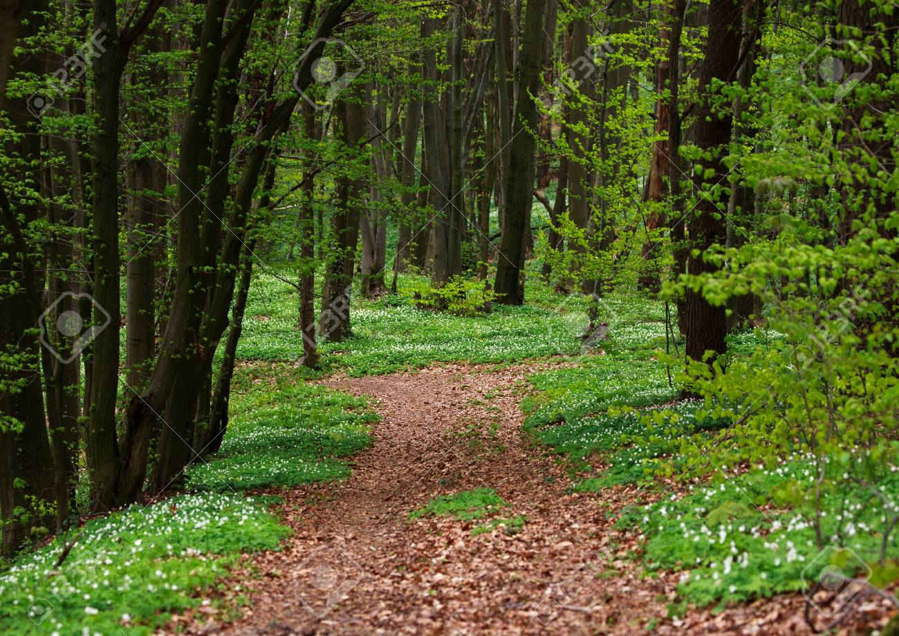 Trail In The Green Blossoming Forest In Trees Background Nature 1300x920