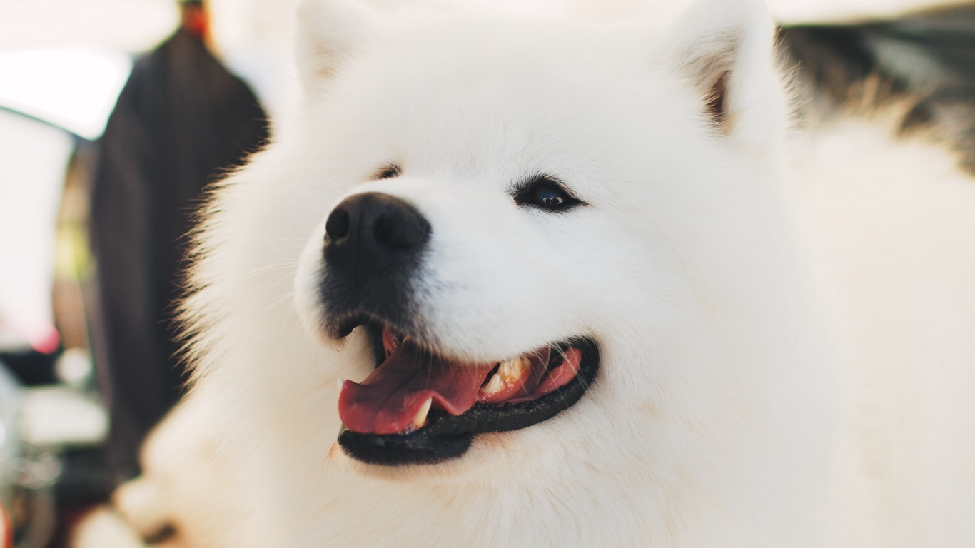 Download wallpaper 1366x768 samoyed dog white fluffy cute 1366x768