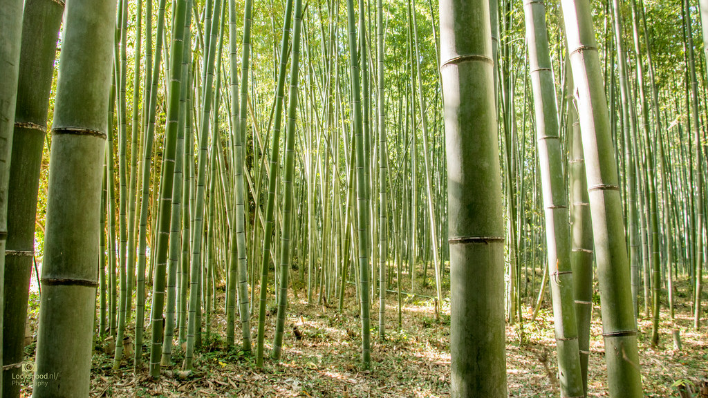Bamboo forest Kyoto Japan 4K Wallpaper Desktop Background Flickr 1024x576