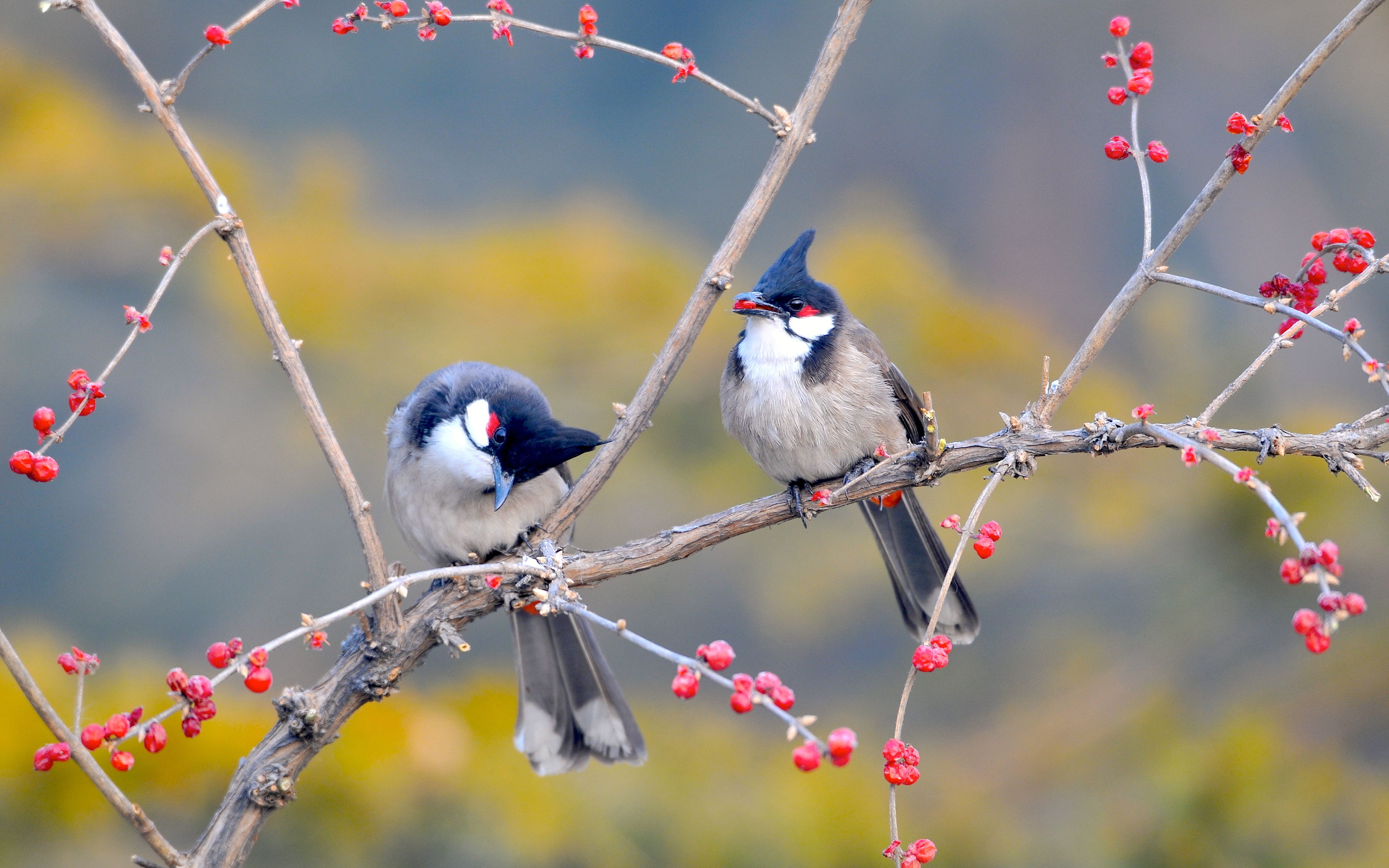 couple birds berries spring animals picture hd wallpaper 3360x2100