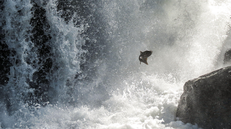 salmon fish river waterfall bear i wallpaper background 3000x1687