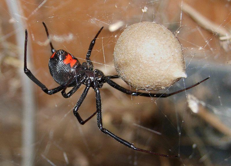 Black Widow Spider Pictures Wallpapers   Wallpaper 6 of 6 800x576