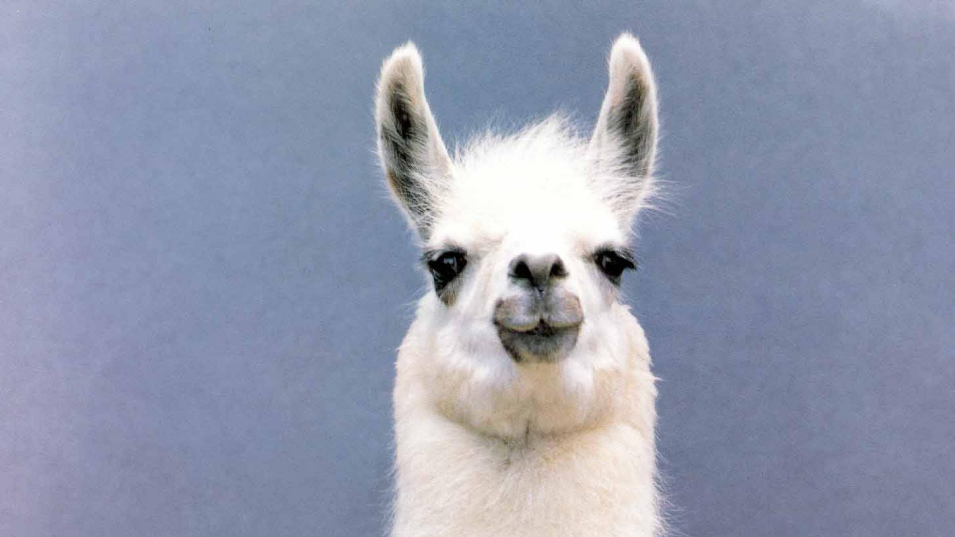 50 High Quality Llama Wallpapers Full HD Pictures 1920x1080