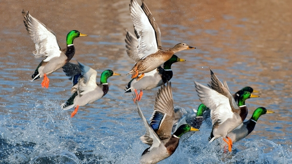 gallery for ducks unlimited backgrounds