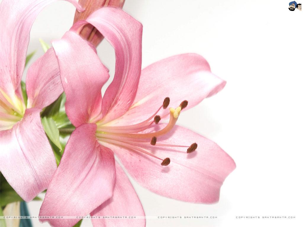 Lilies Wallpaper 7 1024x768