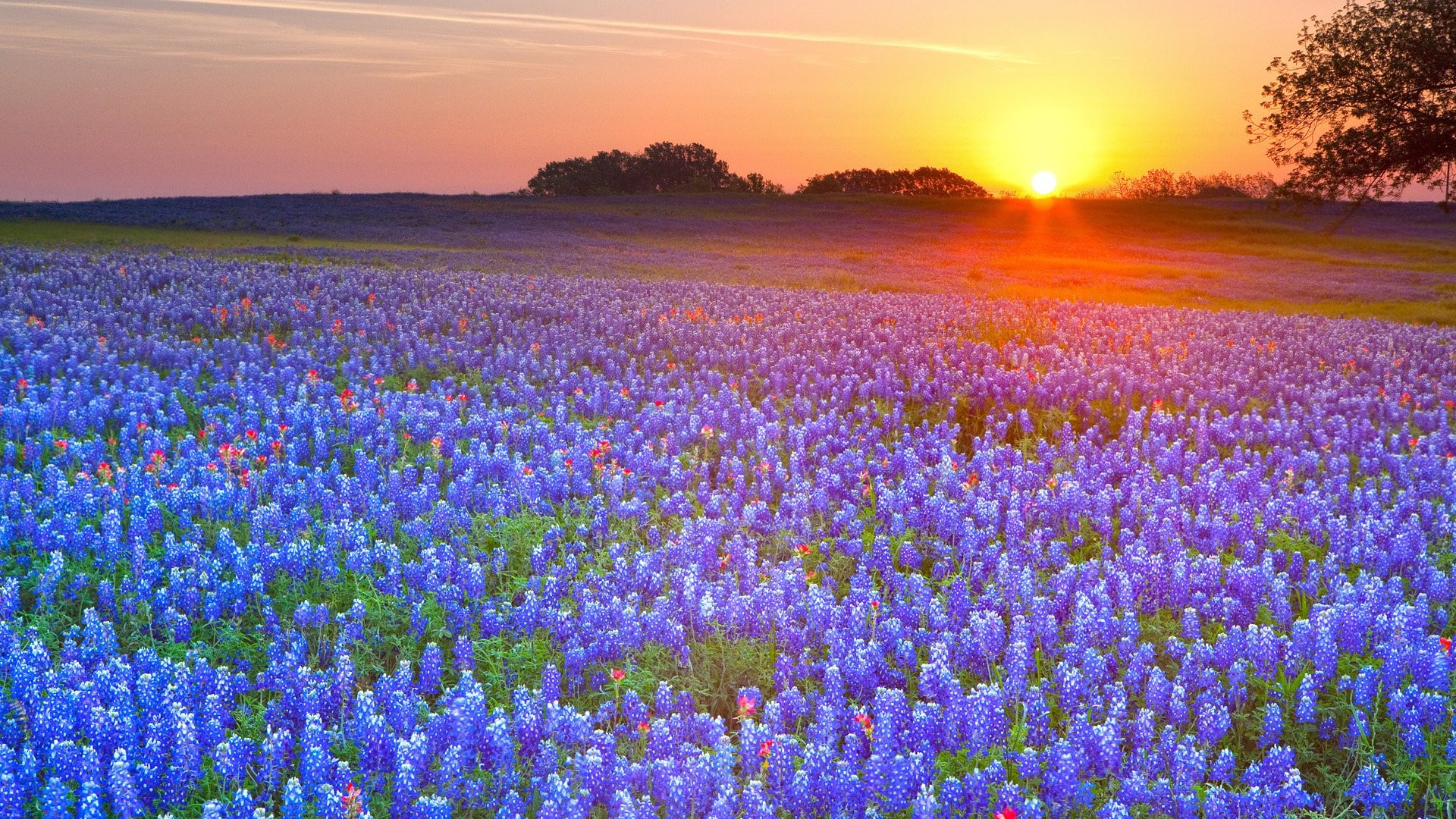 45 Texas Bluebonnet Wallpapers on WallpaperPlay 1920x1080