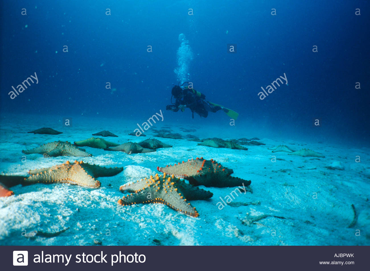 Starfish on Seabed with Scuba Diver in Background Stock Photo 1300x953