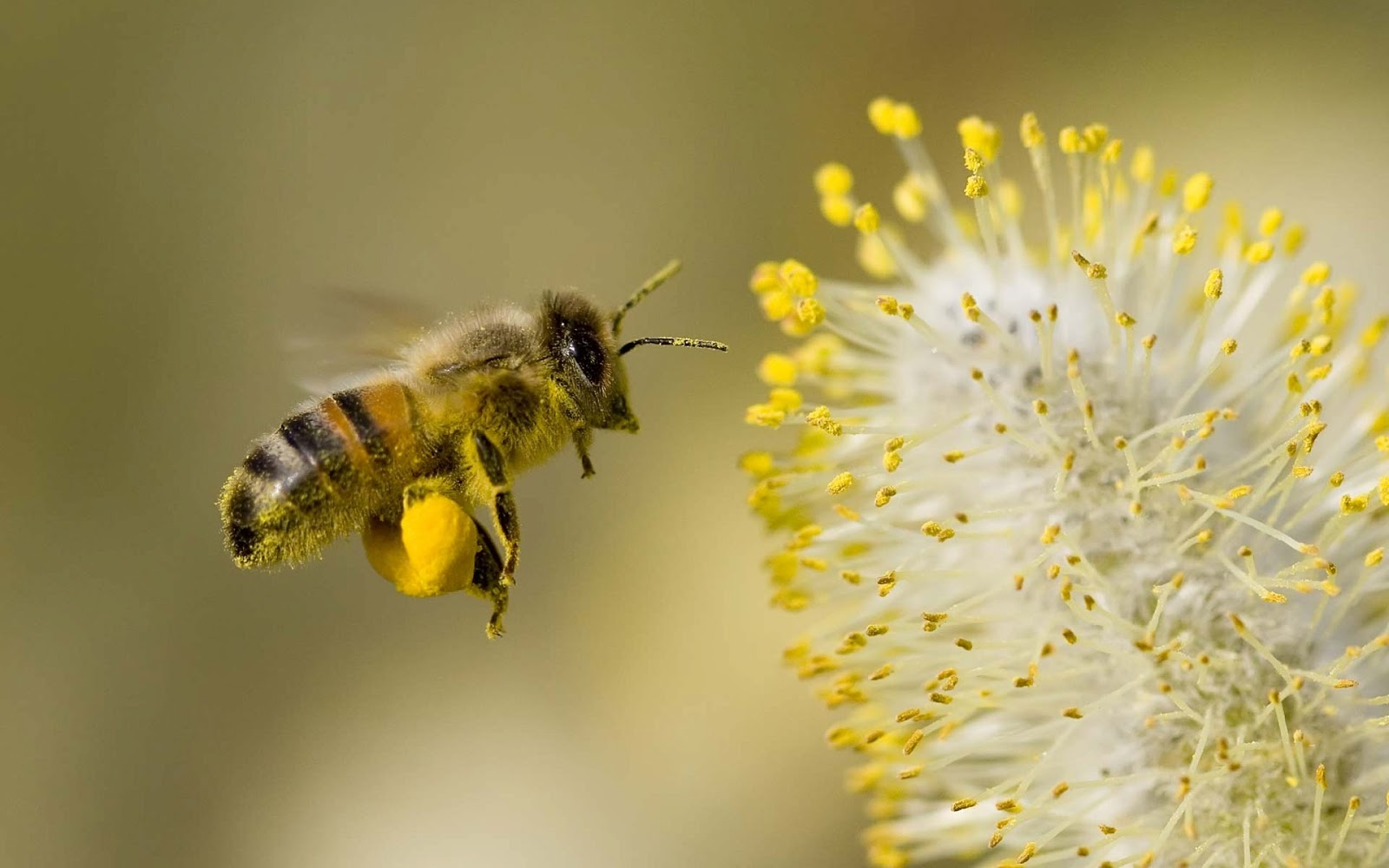 Honey Bees Wallpapers For Android Top Level Beautiful Wallpaper 1600x1000