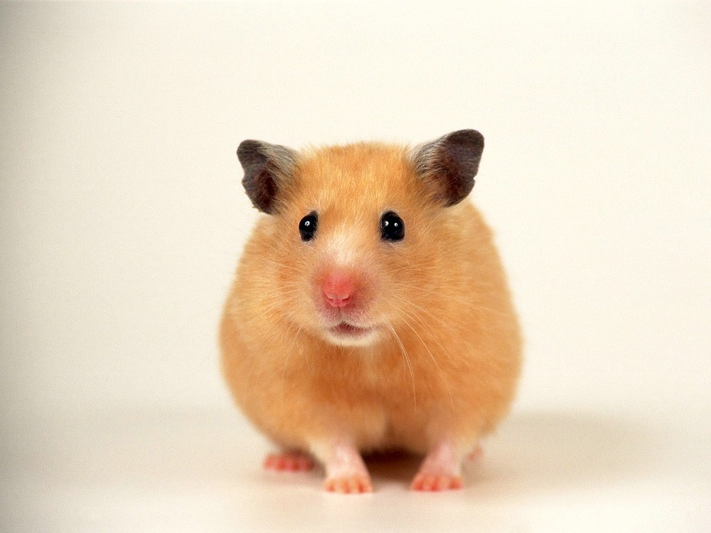 hamster Wallpaper Resolution1024x768 604views Image Size17234k 1024x768