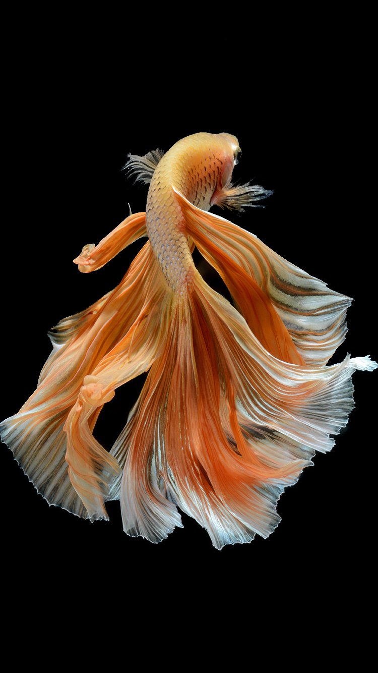 Wallpaper iphone fish - Apple Iphone 6s Wallpaper With Elegant Male Gold Betta Fish In Dark