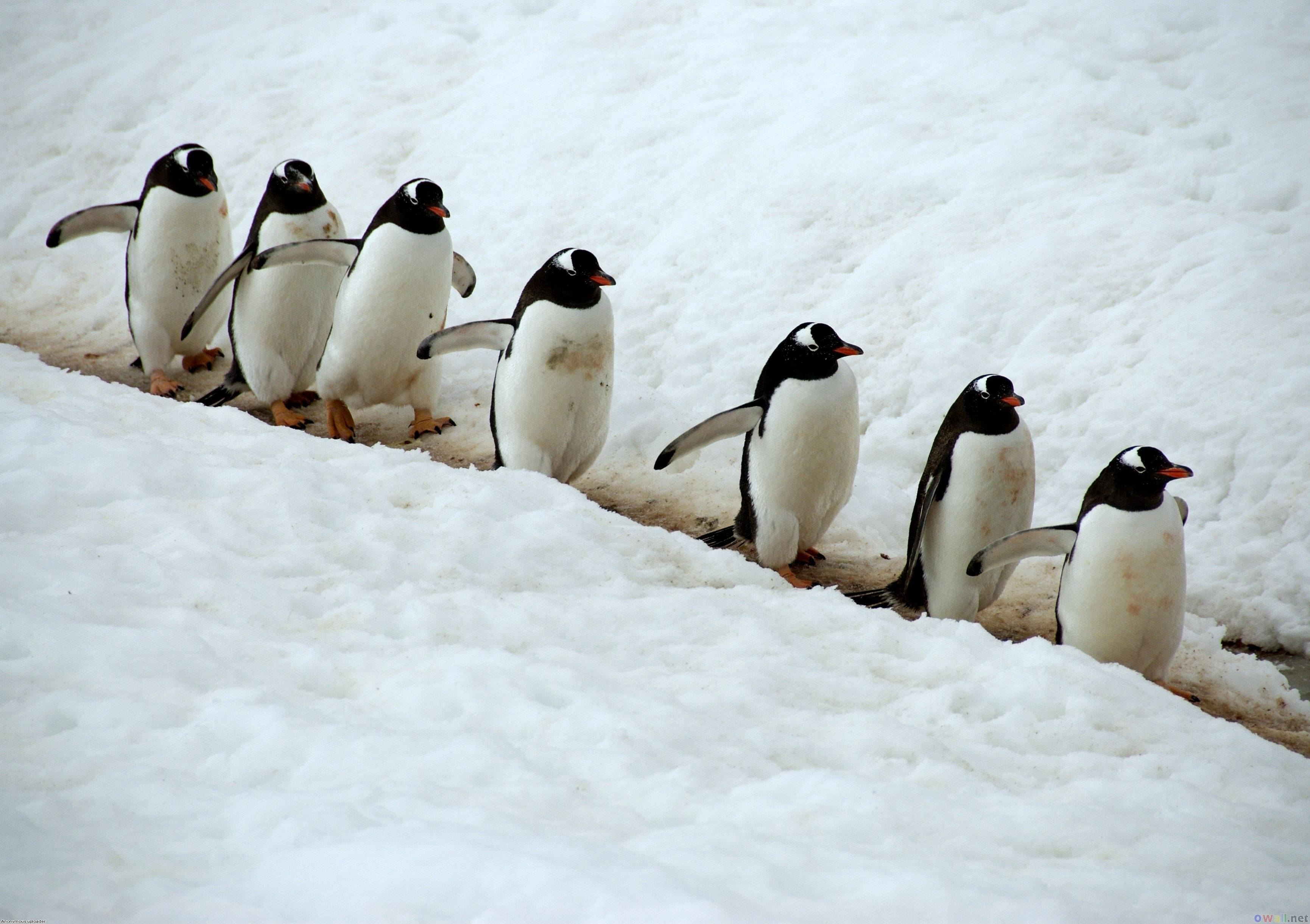 Funny Penguin Download wallpaper Gallery 3461x2441