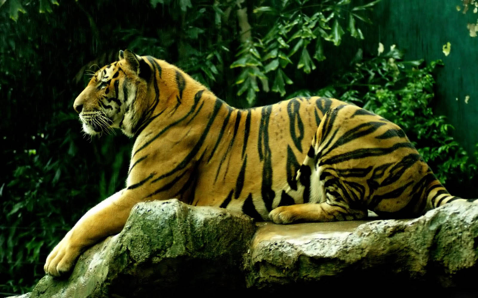 wallpapers Tiger Desktop Wallpapers and Backgrounds 1600x1000
