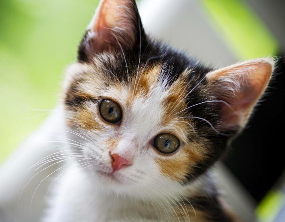 Cute Cat WallPapers Download Beautiful Cats Desktop HD 1000x781