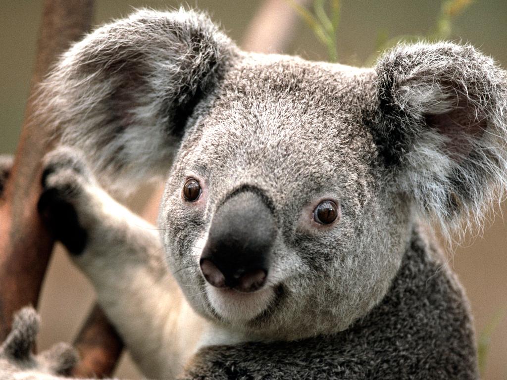 koala animal desktop wallpaper | High Quality Wallpapers ...