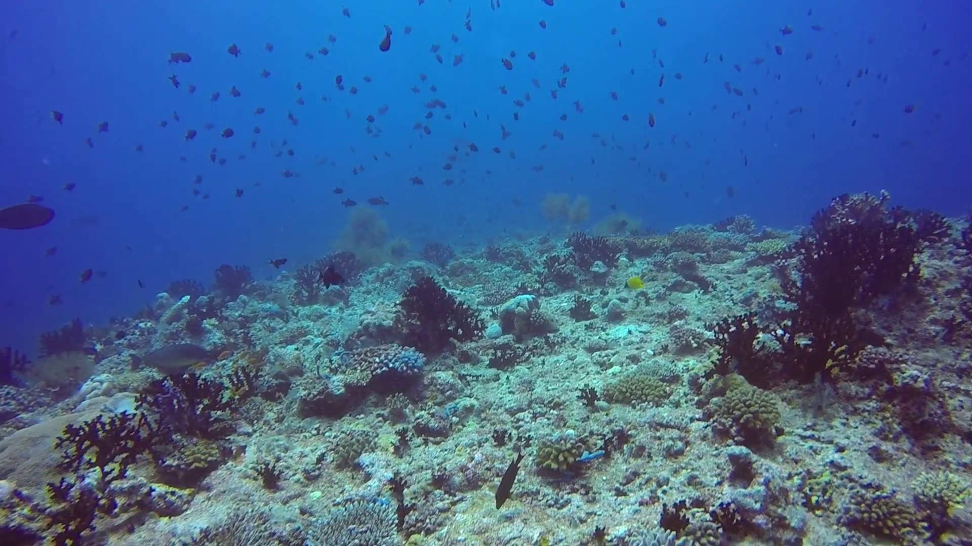 School of fish on background of clear seabed underwater in 1920x1080
