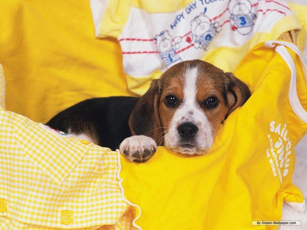 Beagle Wallpaper   Dogs Wallpaper 7013962 1024x768