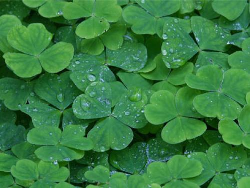 Saint Patricks Day Wallpaper 500x375