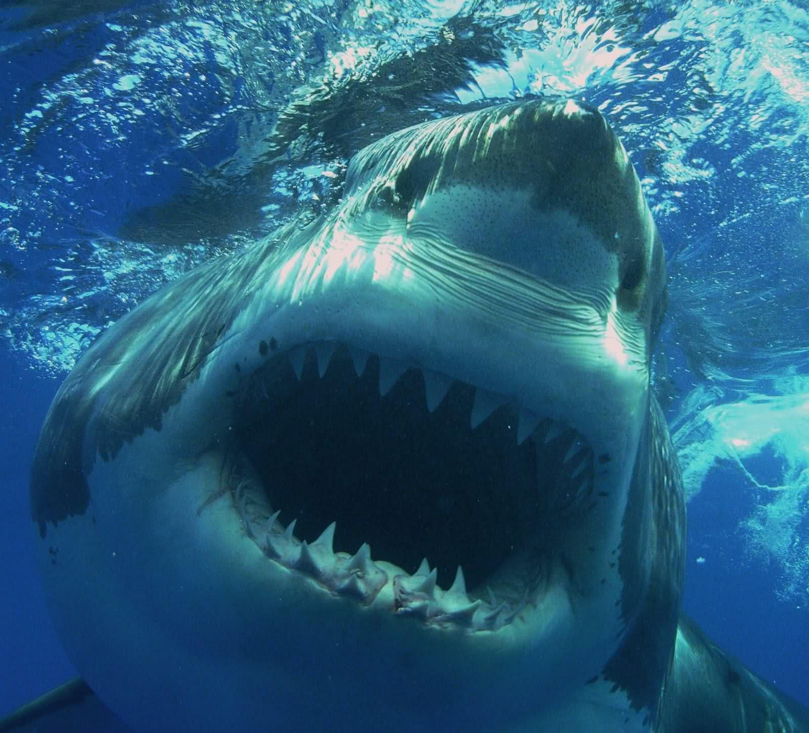 funny great white shark wallpaper wallpapersafari