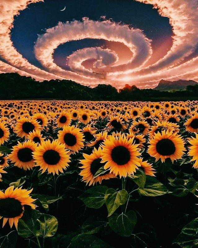 sunflower clouds graphics edit Sunflower wallpaper Nature 639x800
