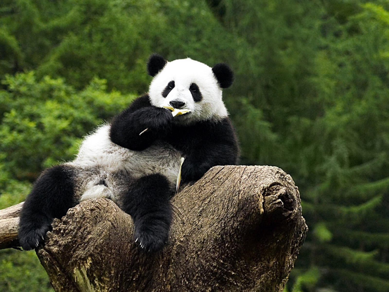 Description Panda Wallpaper HD is a hi res Wallpaper for pc desktops 1600x1200