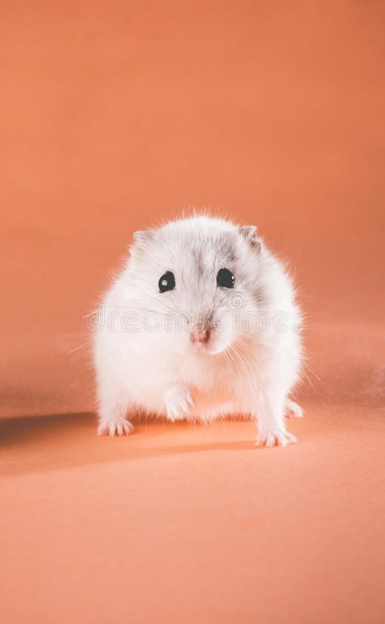 Photo cute Jungar hamster walking Forward on a colored background 556x900