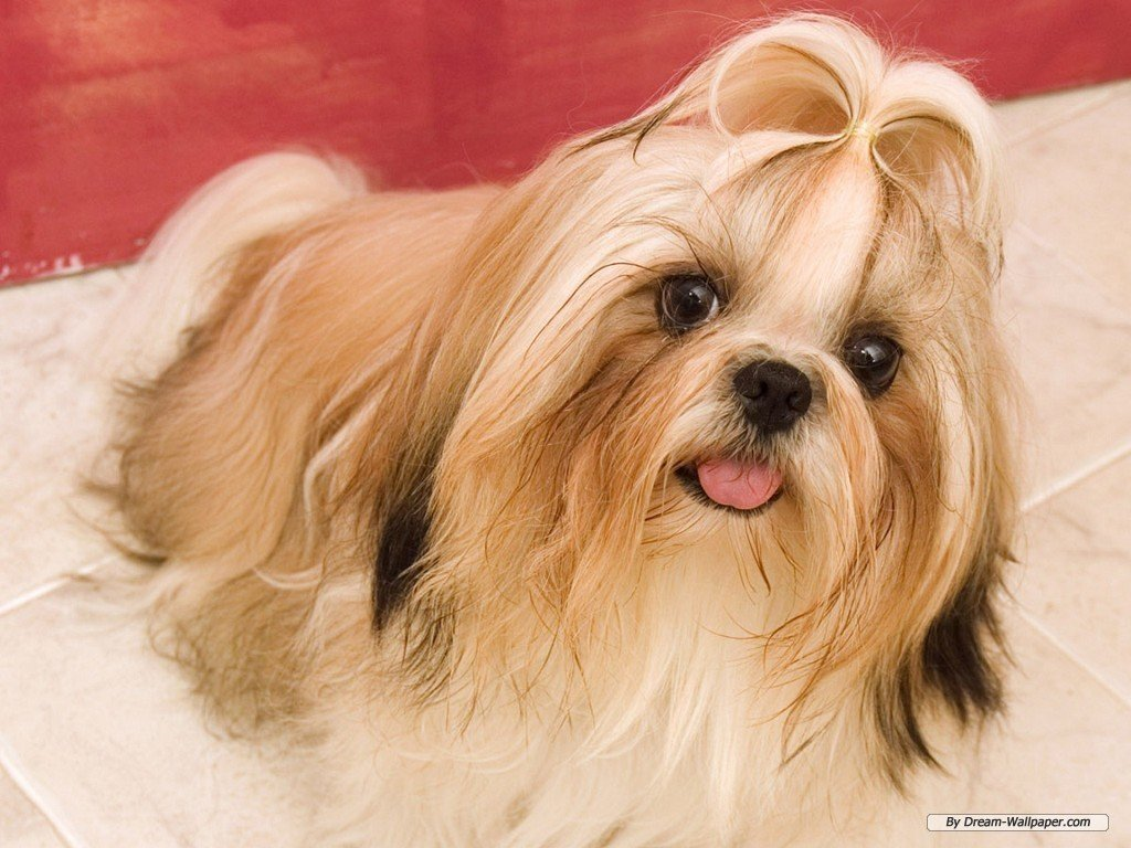 Toy Dog Wallpaper   Dogs Wallpaper 7014288 1024x768
