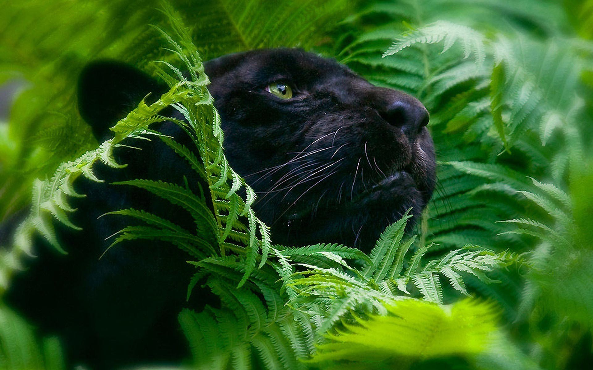 Black Panther HD Wallpaper Download HD Wallpapers for Desktop 1920x1200