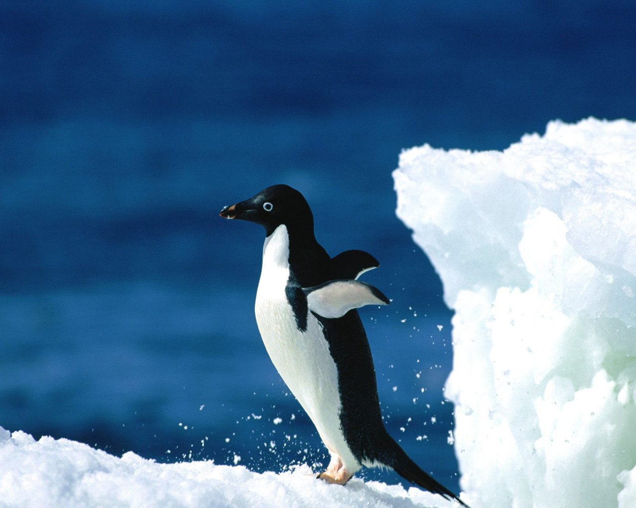 248 Penguin HD Wallpapers Background Images 1280x1024