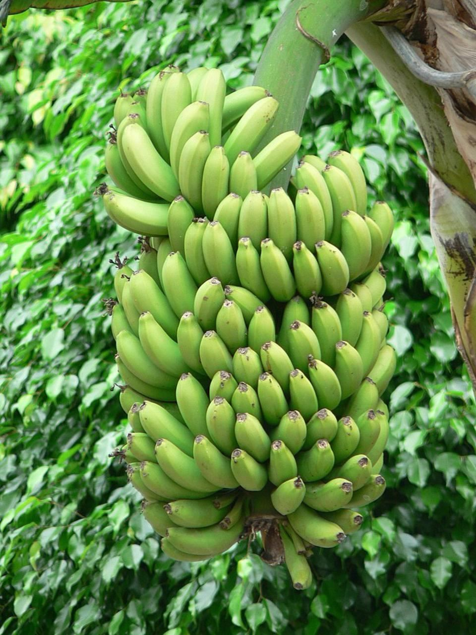 Description Green bananas treejpg 960x1280