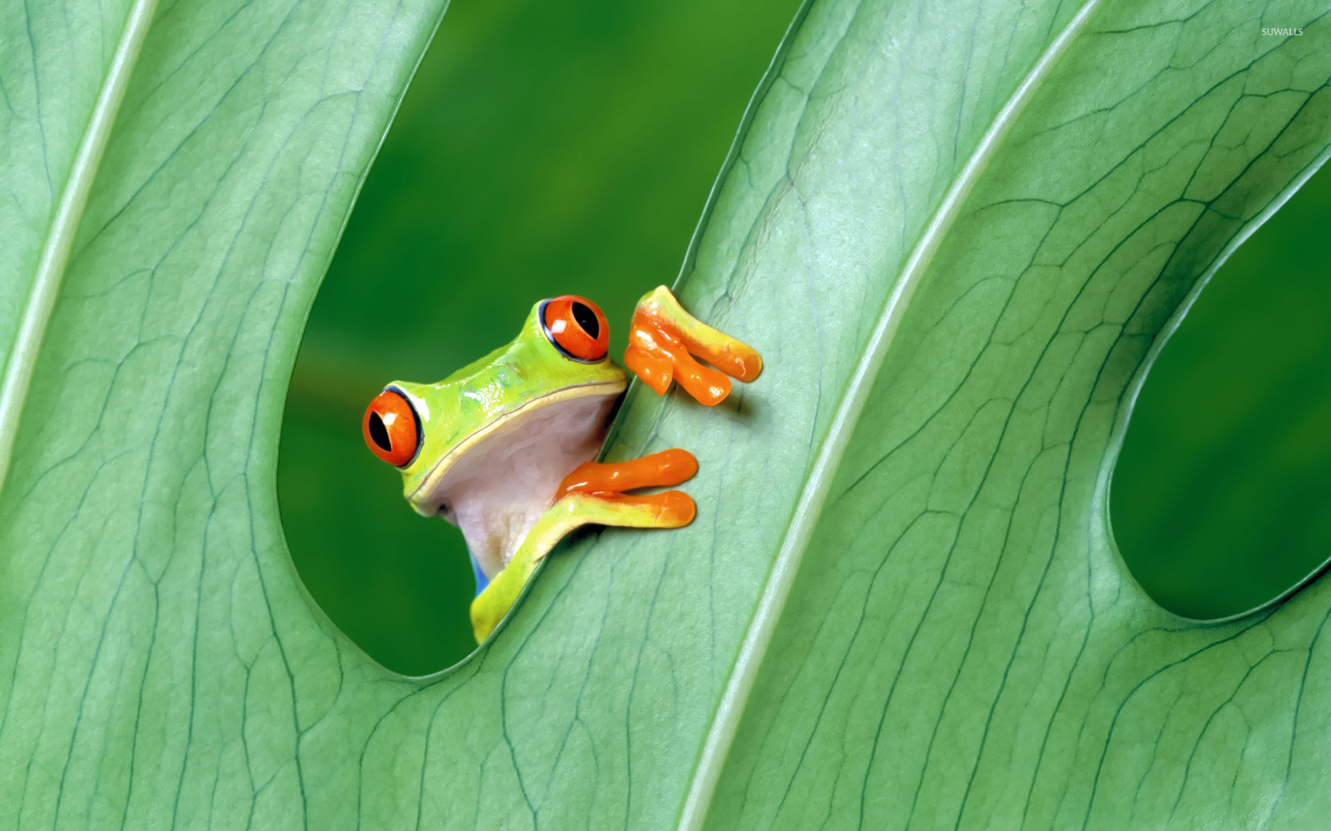 Tree frog wallpaper wallpapersafari - Frog cartoon wallpaper ...