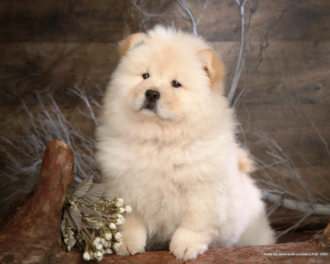 Chow Chow Puppy Wallpaper   Puppies Wallpaper 13936819 1280x1024