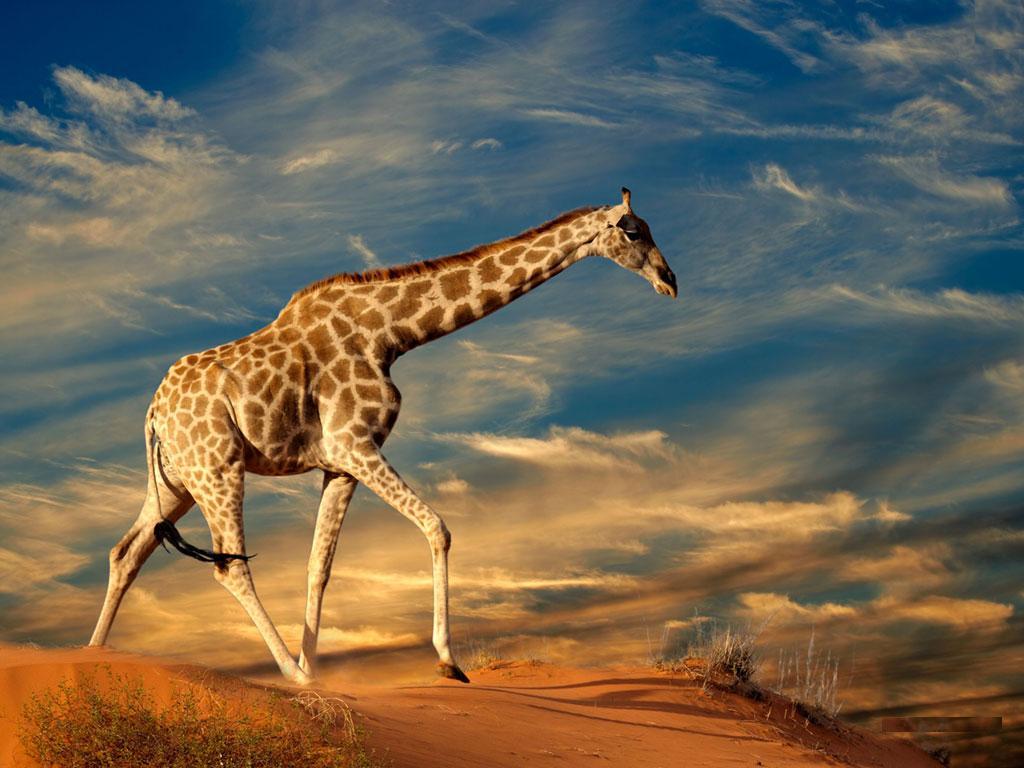Wild Animals Wallpapers HD Download 1024x768