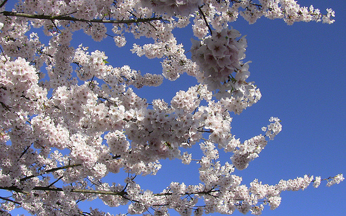 Vancouver BC Cherry Trees 1 Flickr   Photo Sharing 500x313