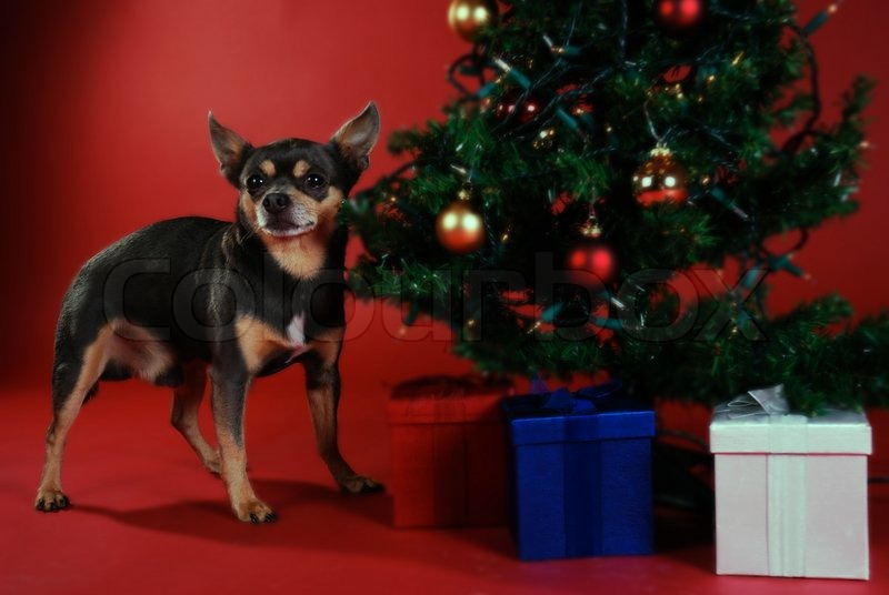 Free Chihuahua Christmas Wallpaper Wallpapersafari