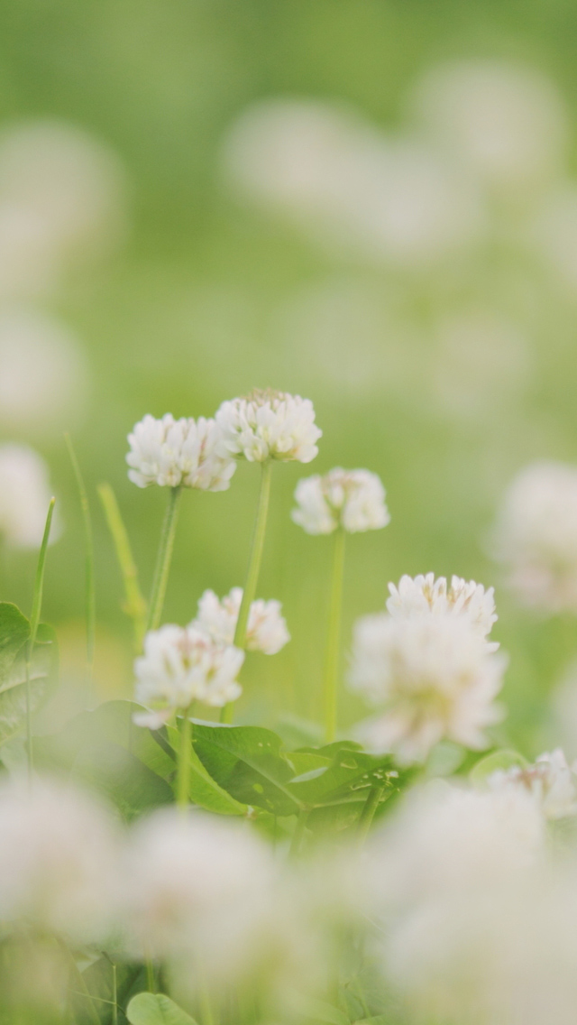 iPhone 5 wallpapers HD   White clover Backgrounds 640x1136