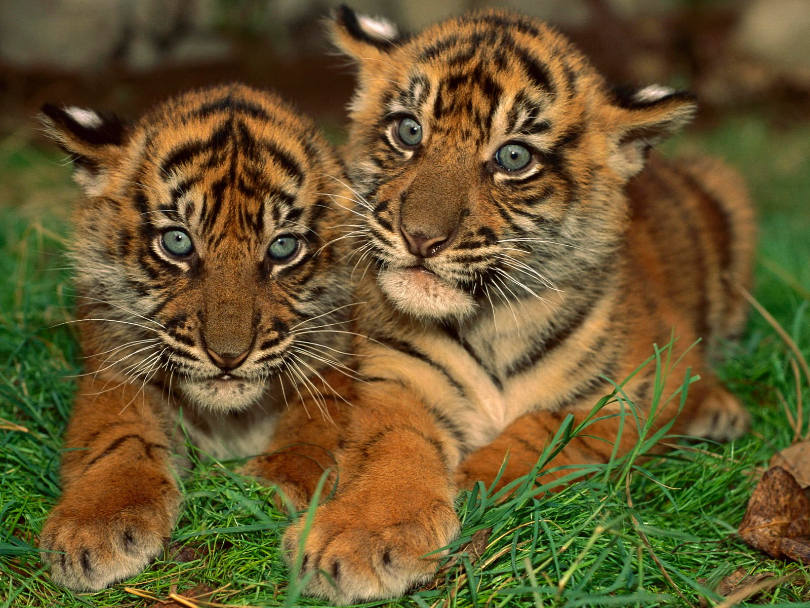 Funny wallpapersHD wallpapers cute tiger background 1600x1200