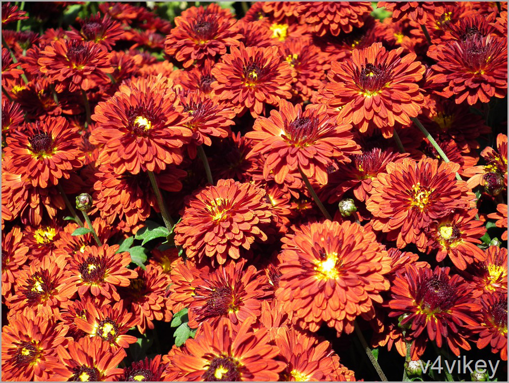 Burgundy Orange Color Chrysanthemum Flowers Wallpaper Tadka 1006x756