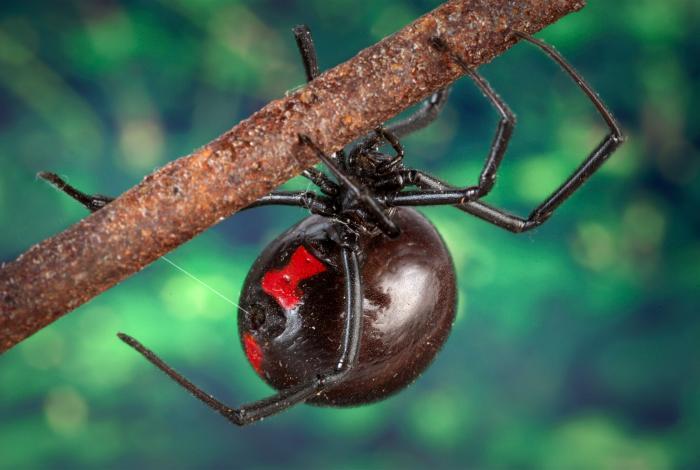 Black Widow Spider Pictures Wallpapers   Wallpaper 1 of 6 700x470