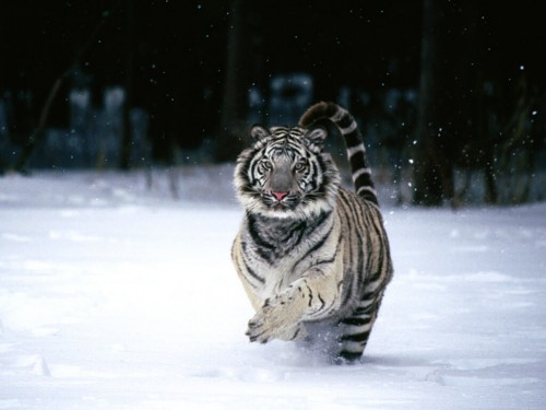 Tiger Screensaver Screensavers   Download White Tiger Screensaver 500x375