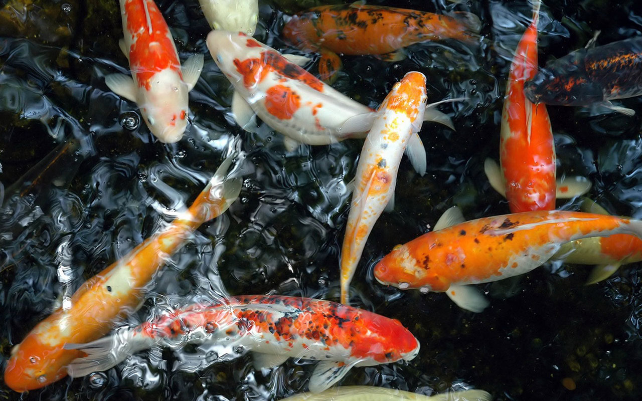 Free Download Koi Live Wallpaper For Windows 8 1280x800