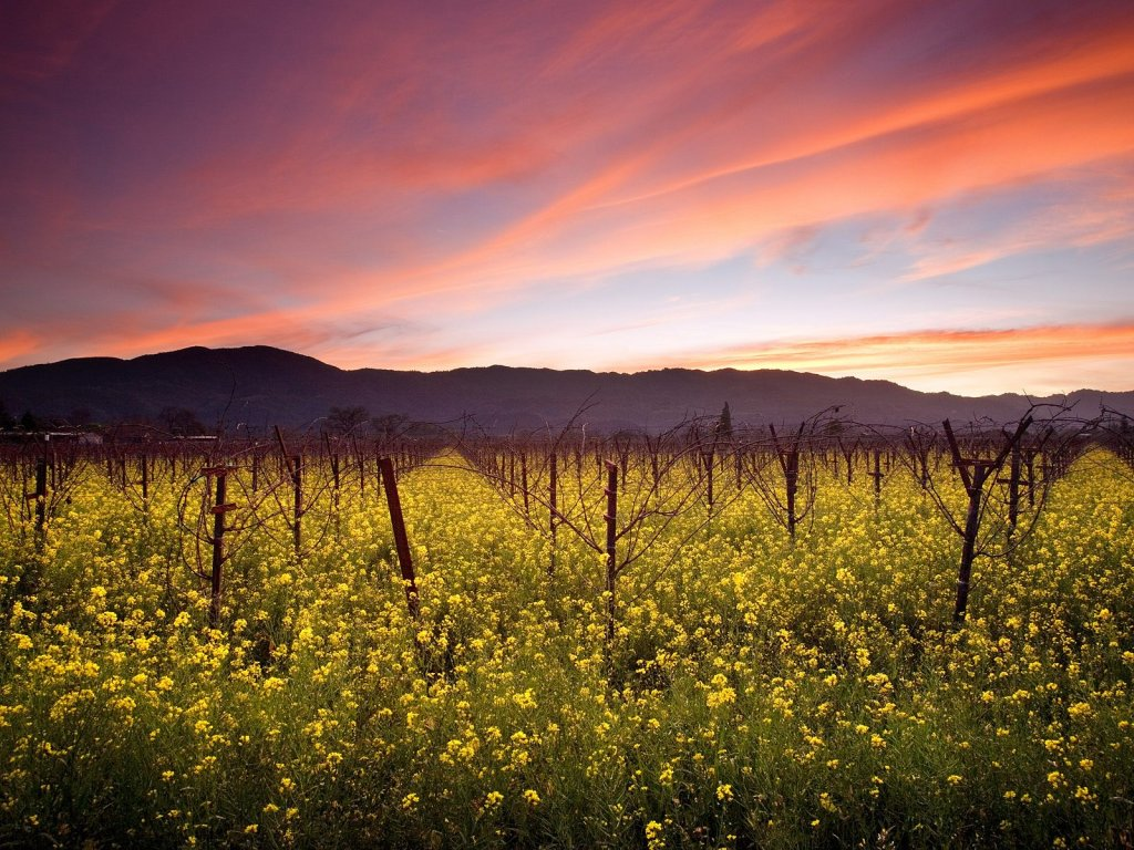 Wallpaper Rank Sunset and Wild Mustard Napa Valley Vineyards 1024x768