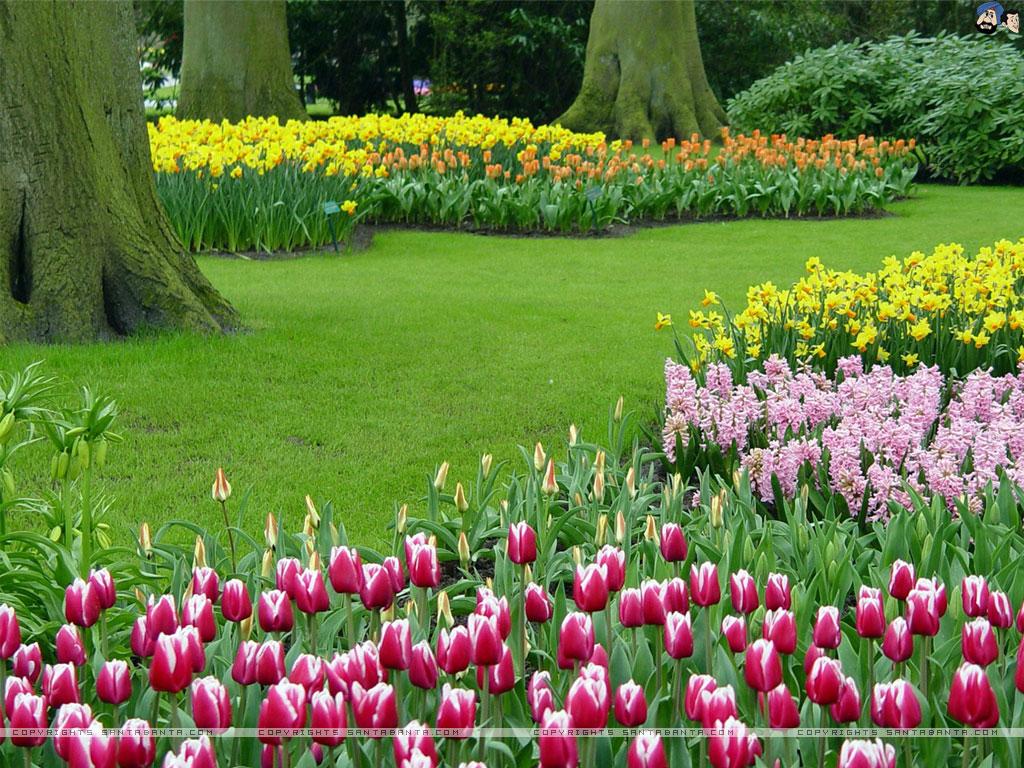 Free Tulip Wallpaper Screensavers