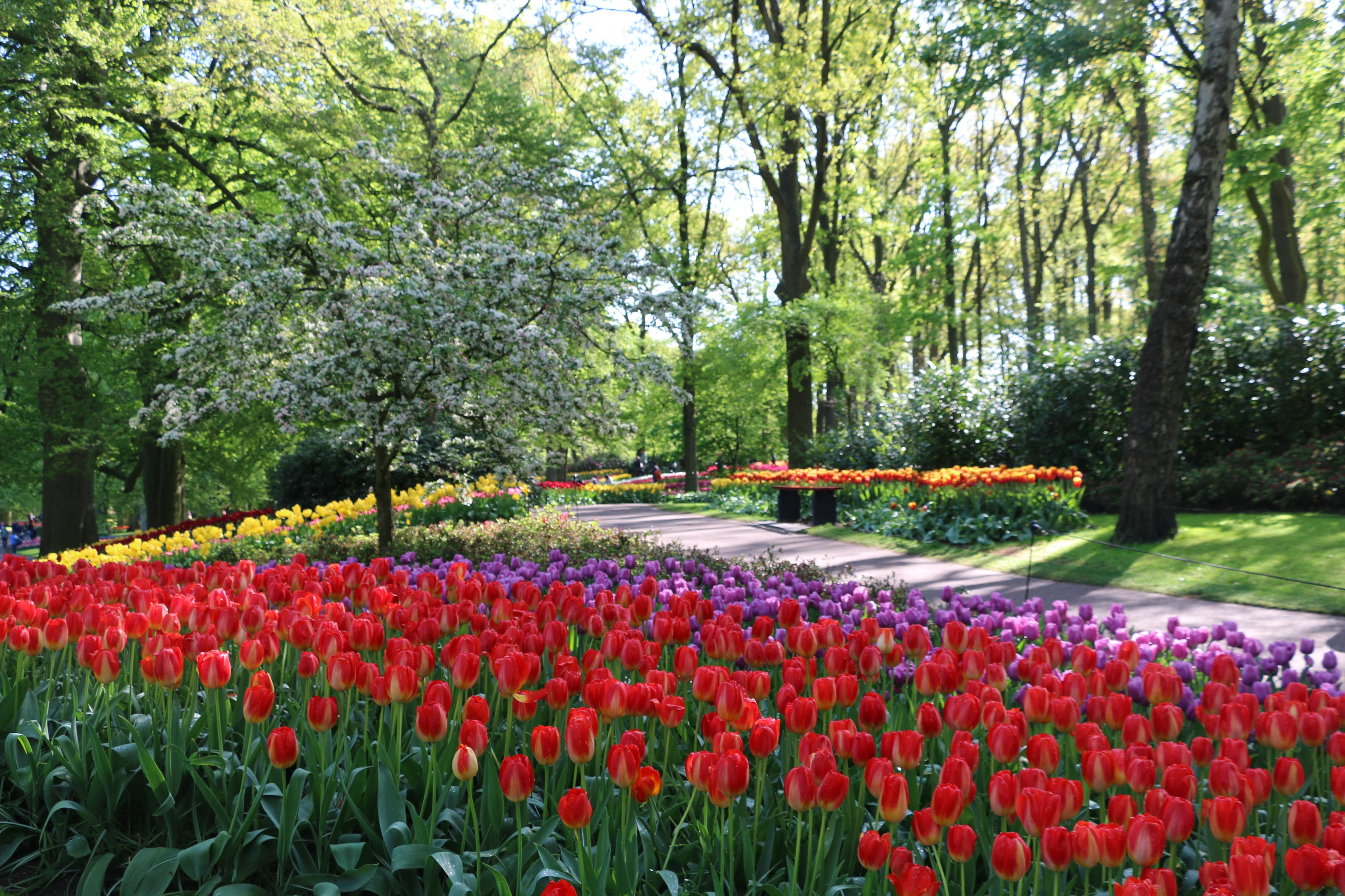 Amsterdam Tulip Season 2020   Tulip Festival Amsterdam 5472x3648