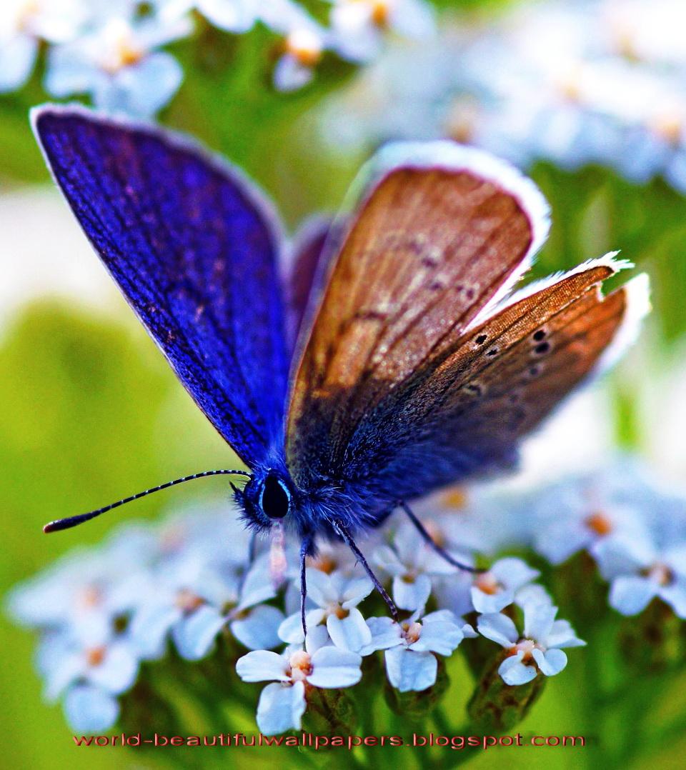 Beautiful Wallpapers Beautiful Butterflies Wallpaper 960x1078