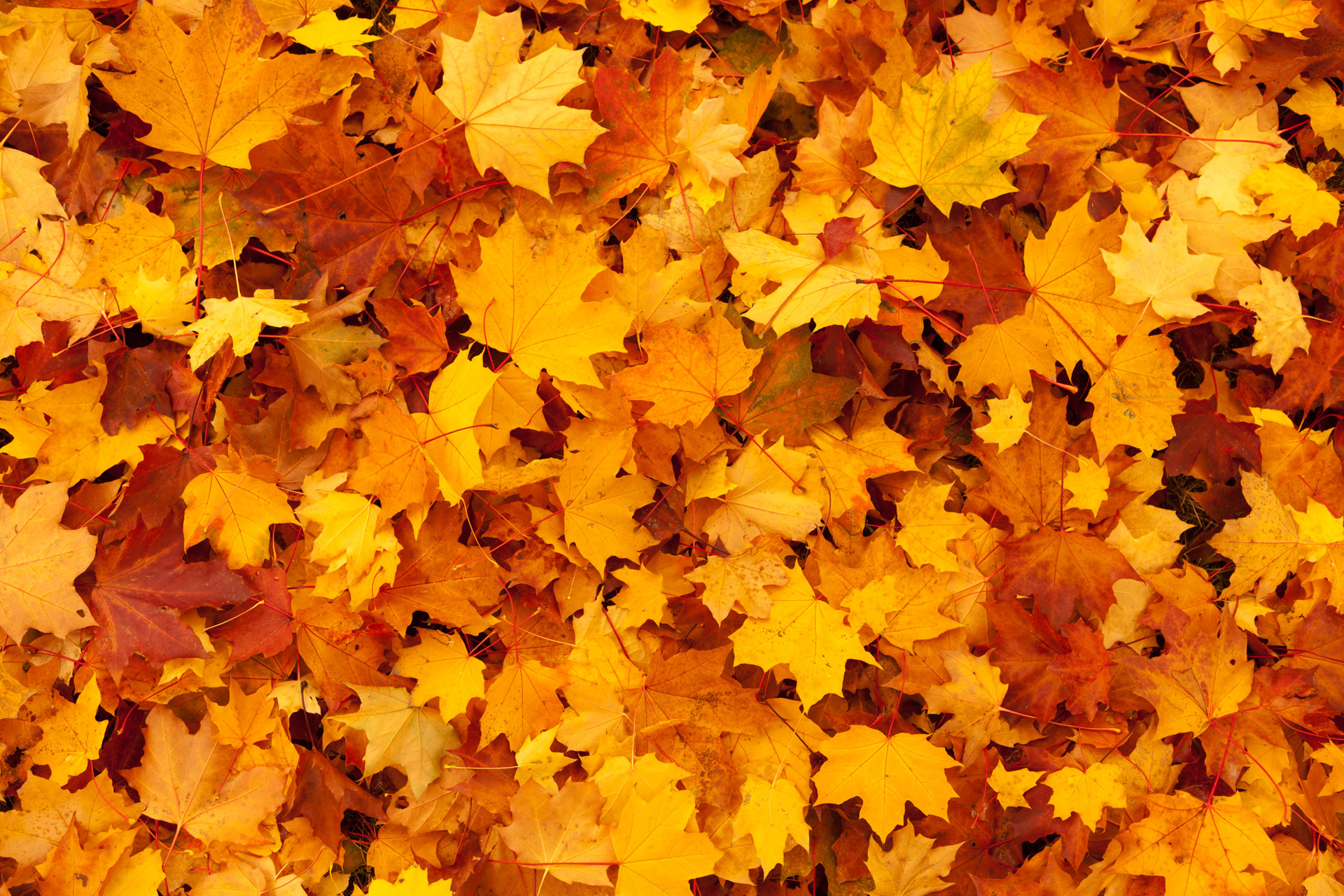 Maple Leaves Background Stock Photo HD   Public Domain Pictures 1920x1280