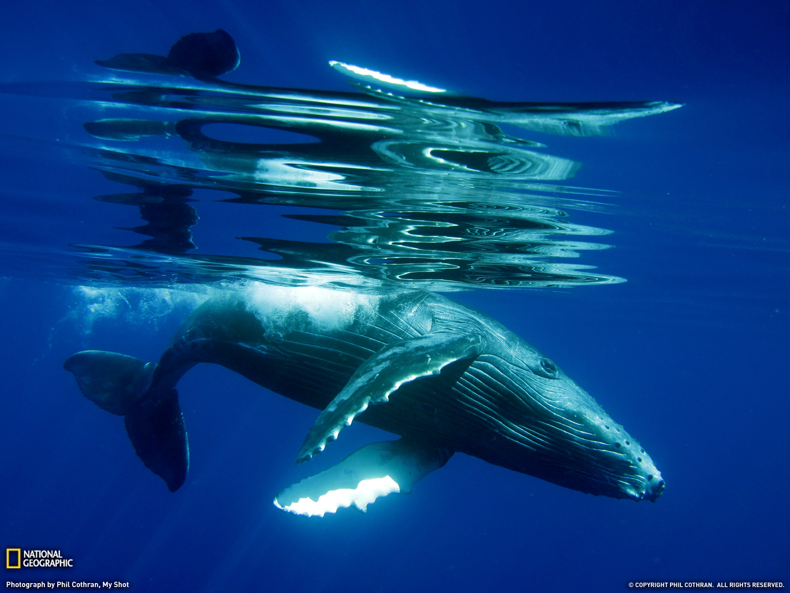 Humpback Whale Calf Photo Animal Wallpaper National Geographic 1600x1200